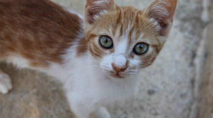 sarman kedi, sarman kedi özellikleri, sarman kedi bakımı, sarman kedi beslenmesi