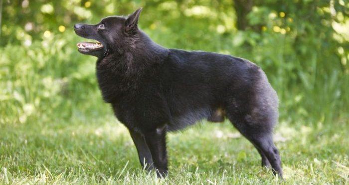 schipperke dog, schipperke köpeği