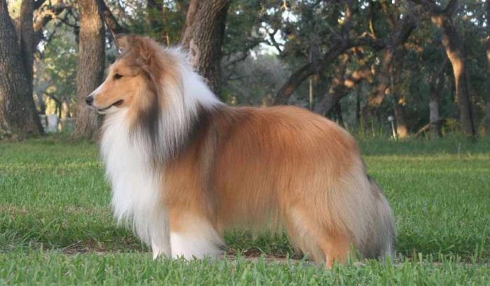 shetland shepherd dog, shetland çoban köpeği, şetland çoban köpeği