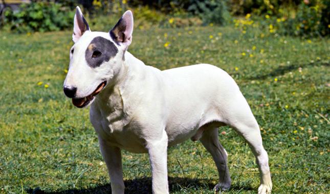 terrier bull, Bull Terrier dog, bull terrier köpek