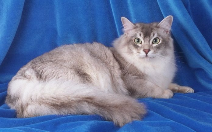 tiffanie kedisi, tiffanie kedisi özellikleri, tiffanie kedisi bakımı, tiffanie kedisi beslenmesi