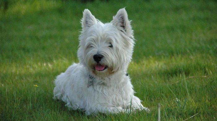 white terrier, white terrier dog, beyaz terrier