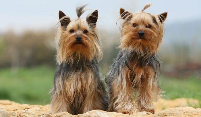 yorkshire terrier, yorkshire terrier dog, teacup yorkshire terrier, terrier yorkshire, yorkshire köpek, köpek yorkshire terrier, yorkshire terrier cup, yokşair köpek