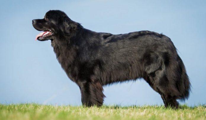 Newfoundland, Newfoundland köpek, Newfoundland dog, Newfoundland özellikleri, Newfoundland bakımı, Newfoundland beslenmesi, Newfoundland eğitimi