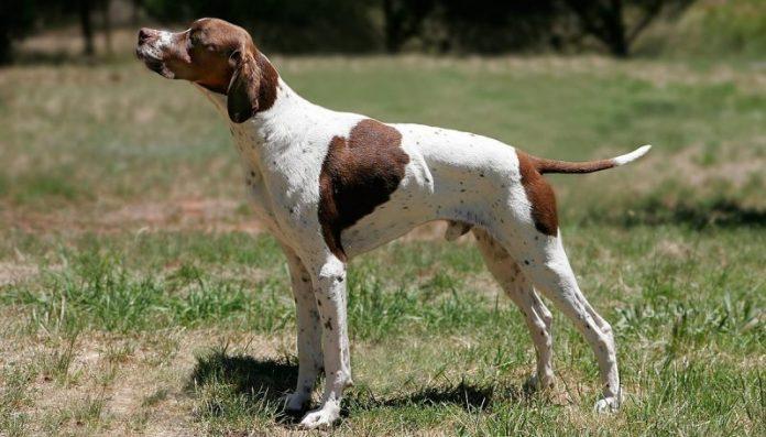 Pointer köpek, Pointer köpek özellikleri, Pointer köpek bakımı, Pointer köpek beslenmesi, Pointer köpek eğitimi