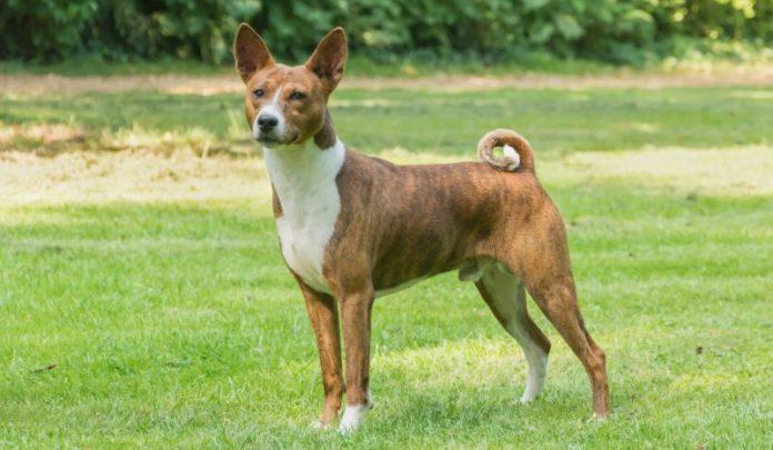 basenji köpek, basenji dog, basenji köpek özellikleri, basenji köpek bakımı, basenji köpek beslenmesi, basenji köpek eğitimi