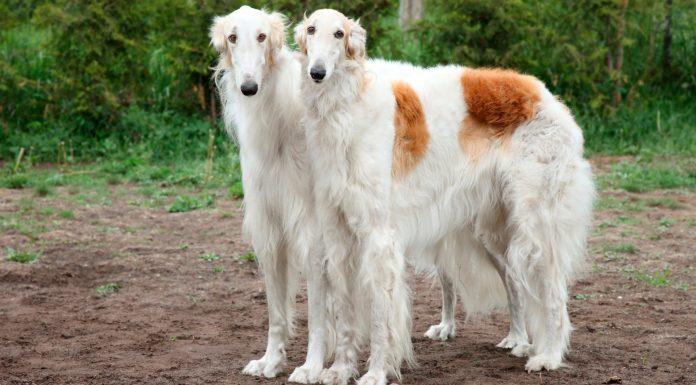 borzoi, rus kurt tazısı, rus kurt köpeği, borzoi özellikleri, borzoi bakımı, borzoi beslenmesi, borzoi eğitimi