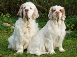clumber spaniel, clumber spaniel köpek, clumber spaniel dog, clumber spaniel özellikleri, clumber spaniel bakımı, clumber spaniel beslenmesi, clumber spaniel eğitimi
