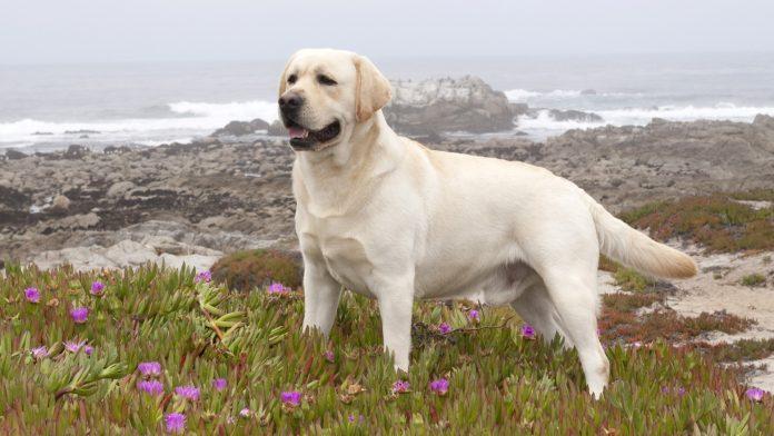 labrador retriever, labrador retriever köpek, labrador retriever dog, labrador retriever özellikleri, labrador retriever beslenmesi, labrador retriever bakımı, labrador retriever eğitimi