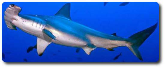 Çekiç Başlı Köpekbalığı, köpek balığı türleri, köpekbalığı türleri