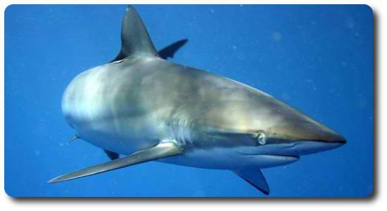 İpeksi Köpekbalığı, pamuk köpekbalığı, köpek balığı türleri, köpekbalığı türleri
