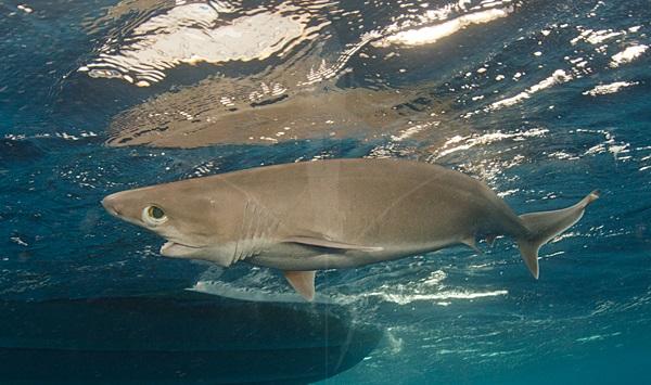6 Solungaçlı Büyük Gözlü Köpekbalığı, köpek balığı türleri, köpekbalığı türleri
