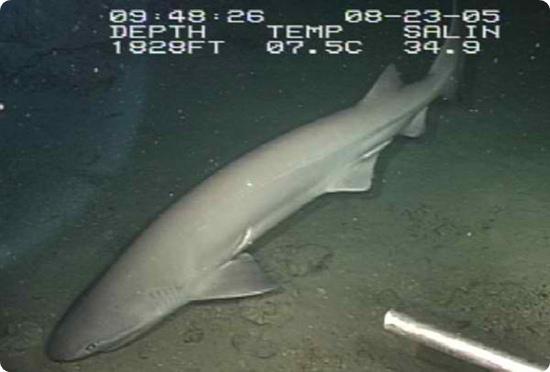 6 Yüzgeçli Küt Burunlu Köpekbalığı, köpek balığı türleri, köpekbalığı türleri