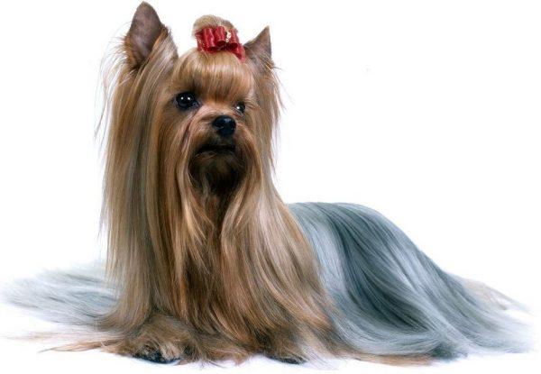 Avustralya İpeksi Terrier