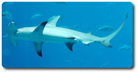 Büyük Çekiç Köpekbalığı, Büyük Çekiç Başlı Köpekbalığı, çekiç başlı köpekbalığı, köpek balığı türleri, köpekbalığı türleri