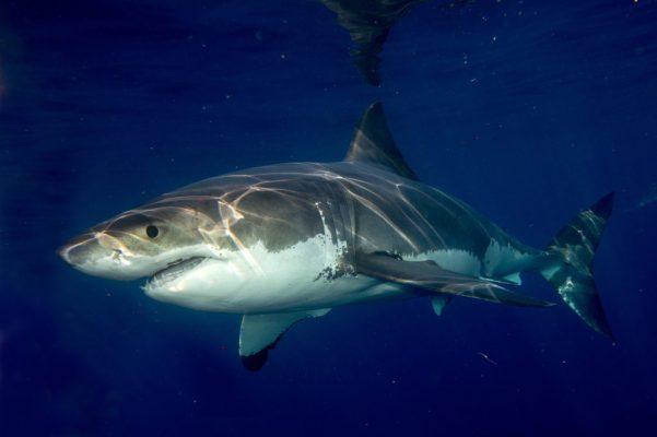 Büyük Beyaz Köpekbalığı, Beyaz Köpekbalığı, köpek balığı türleri, köpekbalığı türleri