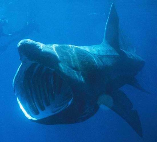 Büyük Camgöz Köpekbalığı, köpek balığı türleri, köpekbalığı türleri