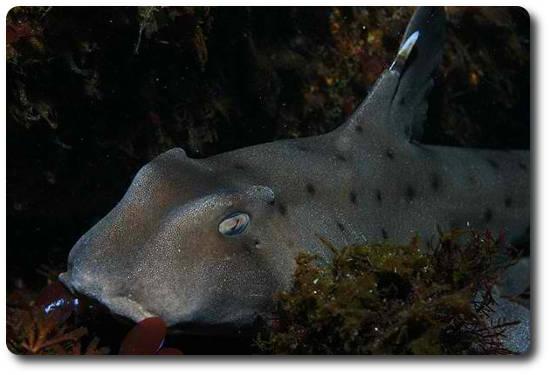Boynuzlu Köpekbalığı, köpek balığı türleri, köpekbalığı türleri