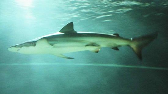 Bronz Balina Köpekbalığı, köpek balığı türleri, köpekbalığı türleri