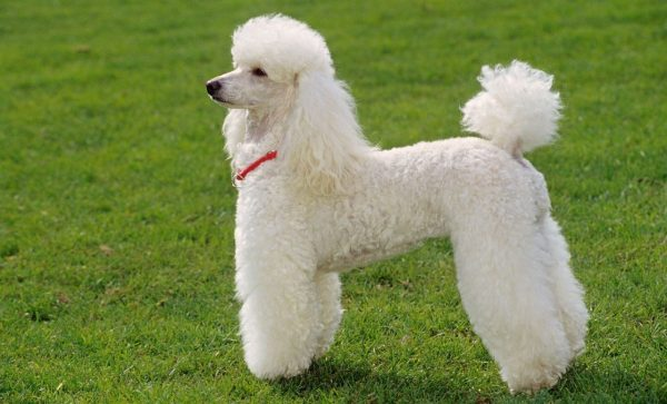 Caniche Poodle