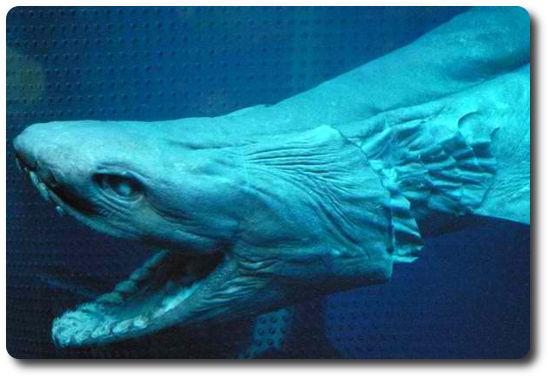Fırfırlı Köpekbalığı, köpek balığı türleri, köpekbalığı türleri