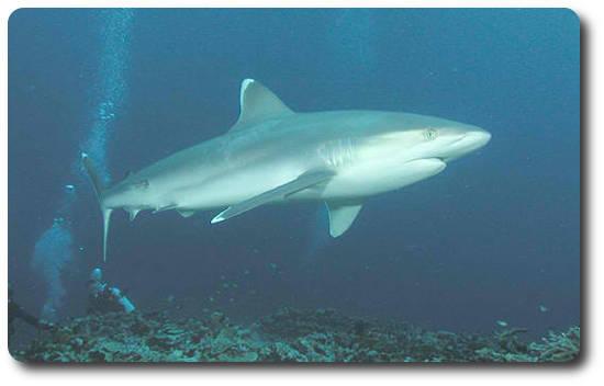 Gümüş Uçlu Köpekbalığı, köpek balığı türleri, köpekbalığı türleri
