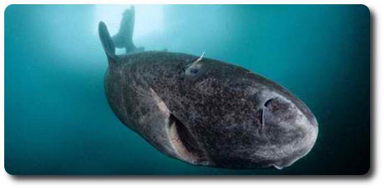 Greenland Köpekbalığı, köpek balığı türleri, köpekbalığı türleri