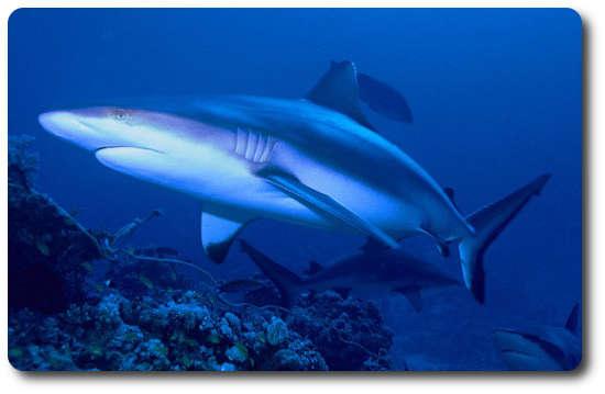 Gri Resif Köpekbalığı, Resif Köpekbalığı, köpek balığı türleri, köpekbalığı türleri