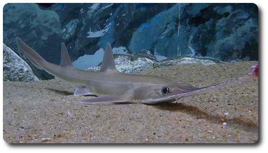 Japon Testere Köpekbalığı, köpek balığı türleri, köpekbalığı türleri