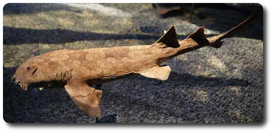 Japon Wobbegong Köpekbalığı, Wobbegong Köpekbalığı, köpek balığı türleri, köpekbalığı türleri
