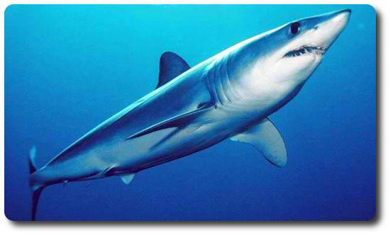 Kısa Kanatlı Mako Köpekbalığı, Mako Köpekbalığı, köpek balığı türleri, köpekbalığı türleri