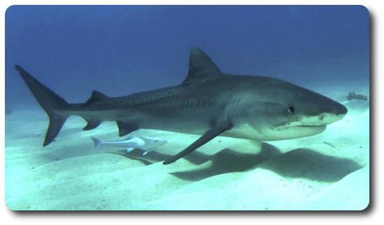 Kaplan Köpekbalığı, köpek balığı türleri, köpekbalığı türleri