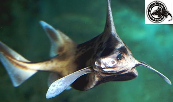 Karayip Kaba Köpekbalığı, köpek balığı türleri, köpekbalığı türleri