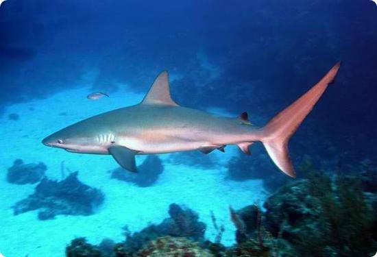 Karayipler Resif Köpekbalığı, Resif Köpekbalığı, köpek balığı türleri, köpekbalığı türleri