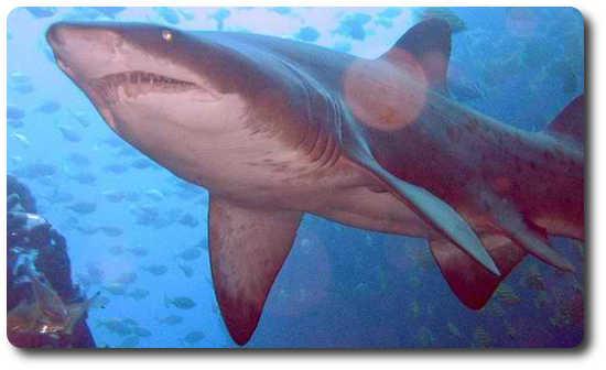 Kum Köpekbalığı, köpek balığı türleri, köpekbalığı türleri