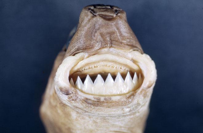 Kurabiye Canavarı Köpekbalığı, köpek balığı türleri, köpekbalığı türleri