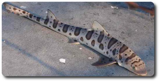 Leopar Köpekbalığı, köpek balığı türleri, köpekbalığı türleri