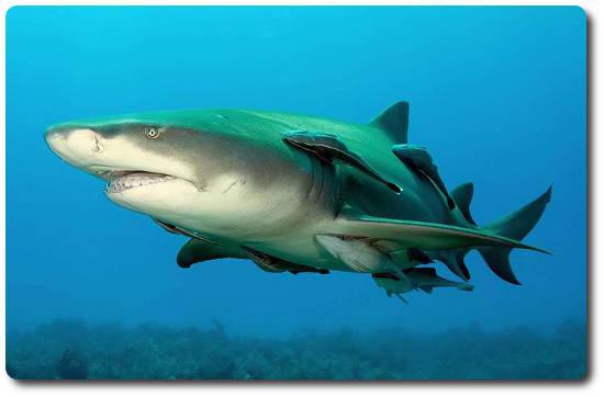 Limon Köpekbalığı, köpek balığı türleri, köpekbalığı türleri