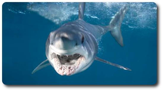 Mako Köpekbalığı, köpek balığı türleri, köpekbalığı türleri