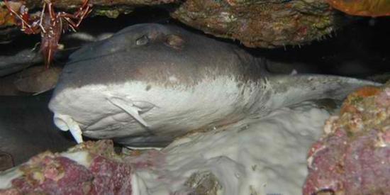 Mavi-Gri Renkli Halı Köpekbalığı, Halı Köpekbalığı, köpek balığı türleri, köpekbalığı türleri