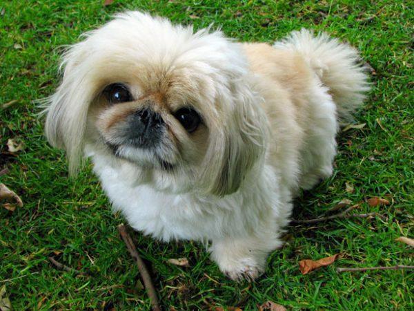 Pekin Köpeği