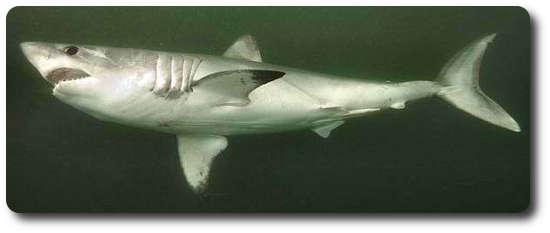 Porbeagle Köpekbalığı, tazı köpekbalığı, köpek balığı türleri, köpekbalığı türleri