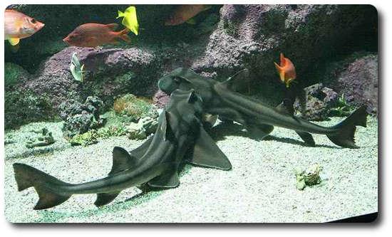 Port Jackson Köpekbalığı, köpek balığı türleri, köpekbalığı türleri