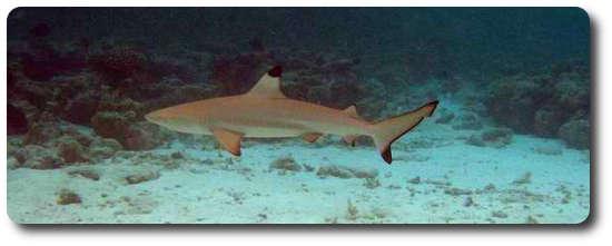 Resif Köpekbalığı, köpek balığı türleri, köpekbalığı türleri