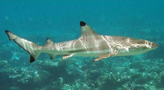 Siyah Resif Köpekbalığı, köpek balığı türleri, köpekbalığı türleri