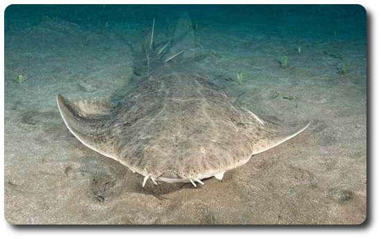 Testere Kuyruklu Melek Köpekbalığı, köpek balığı türleri, köpekbalığı türleri