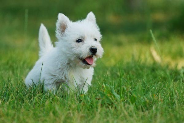 White Terrier, beyaz terrier