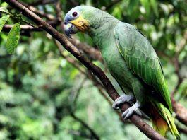 amazon papağanı, amazon papağanı özellikleri, amazon papağanı bakımı, amazon papağanı beslenmesi
