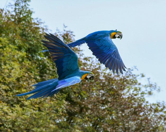 amerikan papağanı resimleri