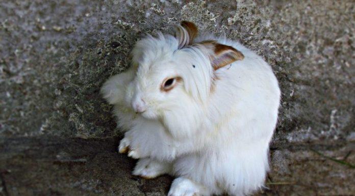 angora tavşanı, angora tavşanı özellikleri, angora tavşanı bakımı, angora tavşanı beslenmesi